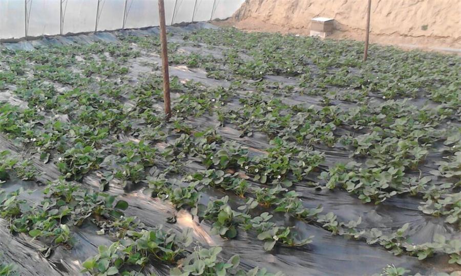 辛集欢乐谷牛蒡、草莓采摘季